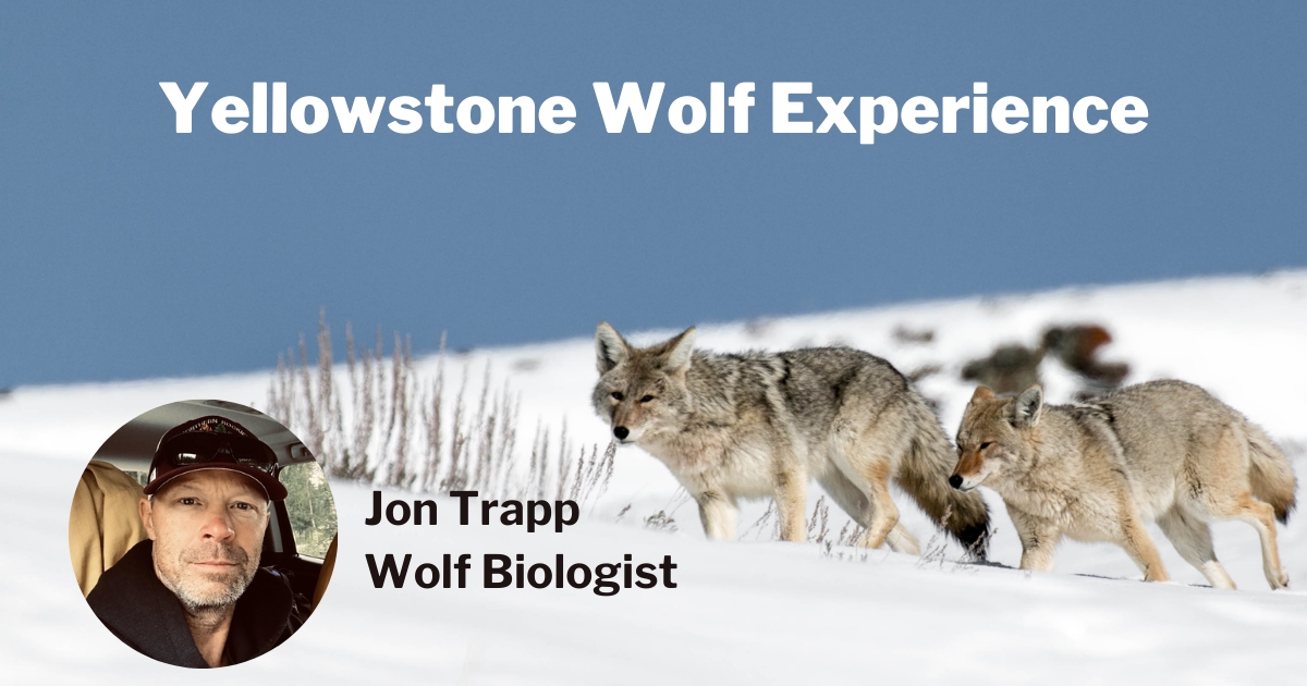 Yellowstone Wolf Experience with Jon Trapp