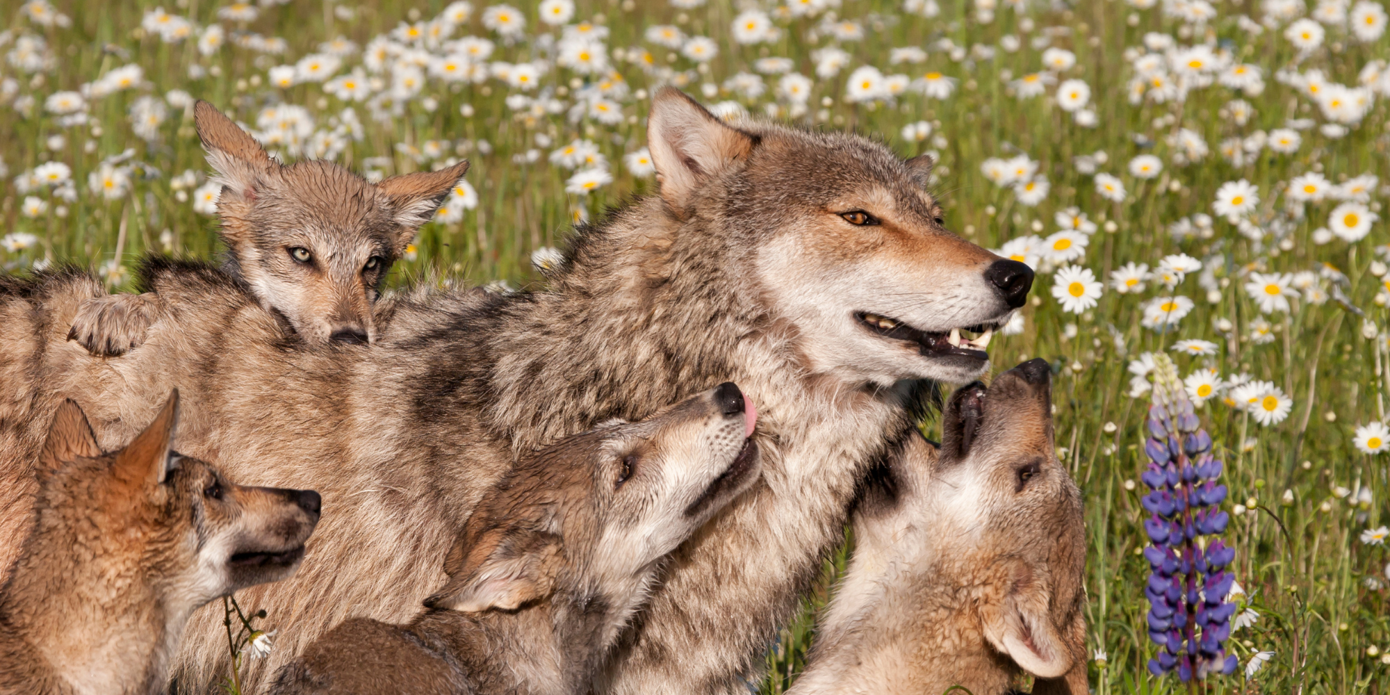 Yellowstone Wolf Watching Tour With Hiking